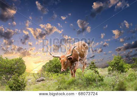 Longhorn Cow Grazing At Sunrise