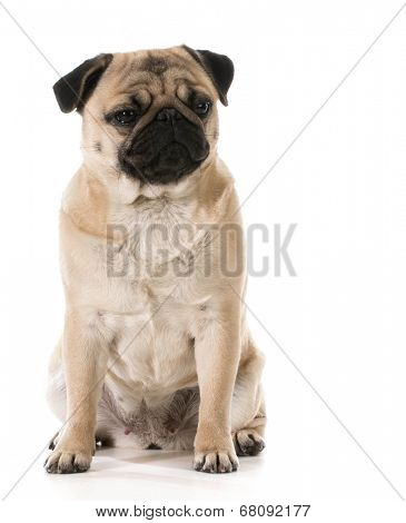grumpy dog - pug with grouchy expression isolated on white background