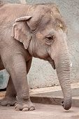 An asiatic elephant (Elephas maximus) is heavily walking poster