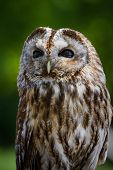 portrait of a barred owl - strix varia - with a green background poster