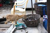 Young african goat eats plantain out of a basket poster