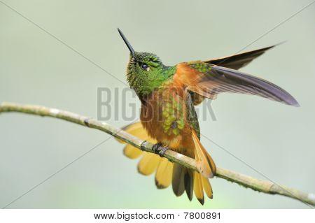 Weibliche Kolibri