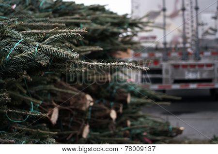 Fresh cut Chrismas Trees