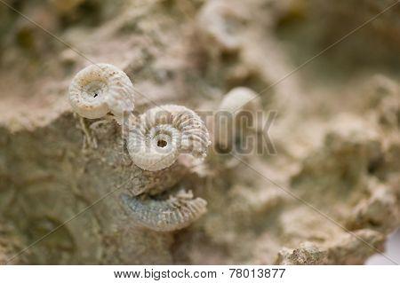 Shell Fossils On Petrified Sand Stone