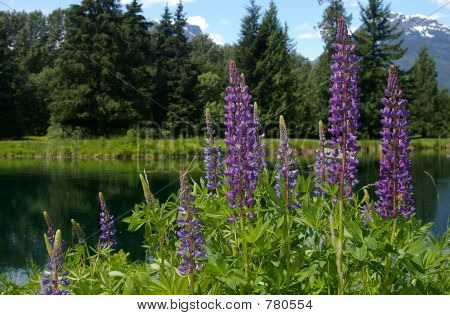 lupines by a pond