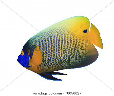Tropical Fish isolated on white background: Blue-cheeked Angelfish