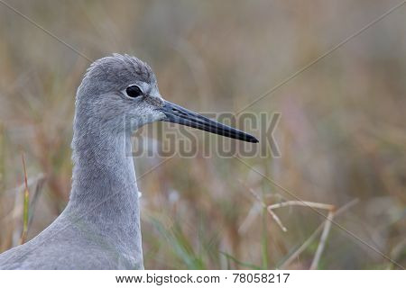 Portait of a Willet