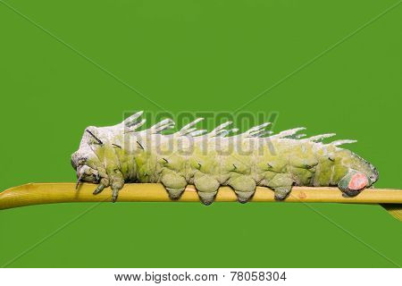 Close up of Atlas moth (Attacus atlas) caterpillar resting on stem, green background poster