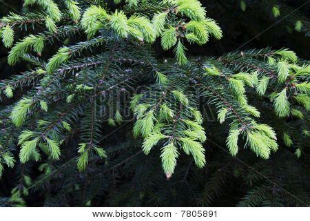 Fur-tree with new needles