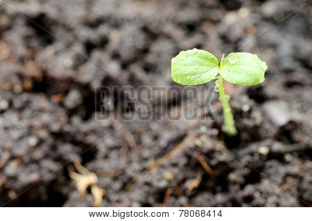 Macro Of Forest Tree Seedling.