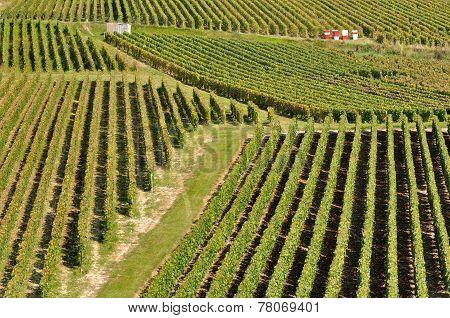 Champagne Vineyard (france)