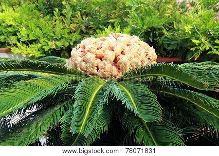 Sago Palm, Cycadaceae
