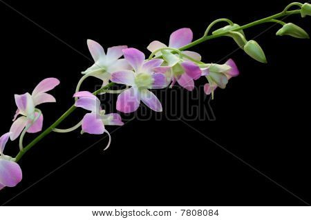 Pale Dendrobium Orchid On Black