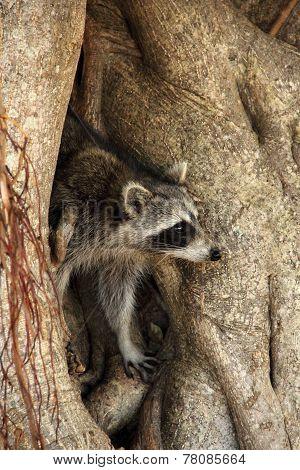 Racoon on Tree