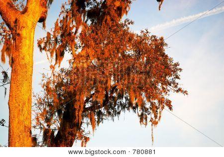 Spanish moss on the tree.