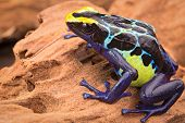 poison dart frog, Dendrobates tinctorius from the Amazon rain forest near the border of Suriname and Brazil. beuatiful macro of exotic amphibian poster