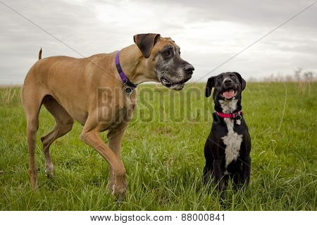 Great Dane and mutt in field