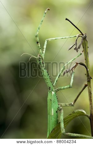Giant Walking Stick