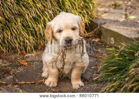 Golden retriever pup at play