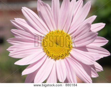 Pink Camomile