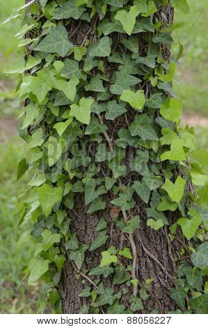 Ivy Plant On Tree Trunk