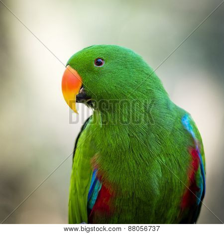 Close Up Of A Green Male Eclectus Roratus Parrot