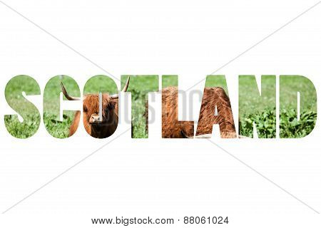 Word Scotland Over Scottish Highland Cow Over Green Grass