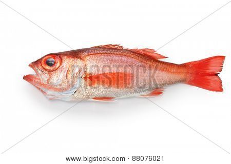 blackthroat seaperch, rosy seabass, nodoguro, akamutsu, japanese high class fish poster
