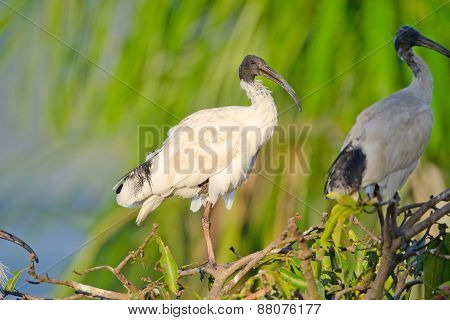 Australian White Ibis with warm Light, Australia