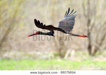 Black stork in natural habitat in spring  - Ciconia nigra