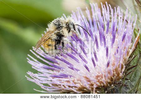 Honey bees collecting pollen