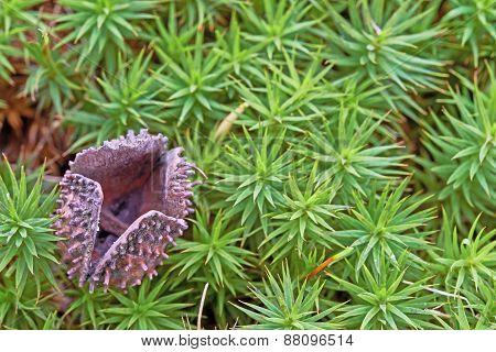 Eggshell Beechnuts