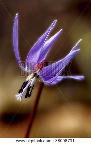 Abstract Erythronium  Dens Canis