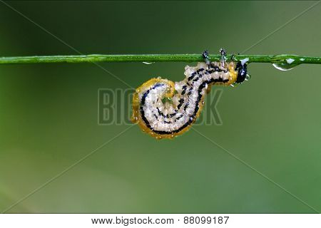 Caterpillar Curved