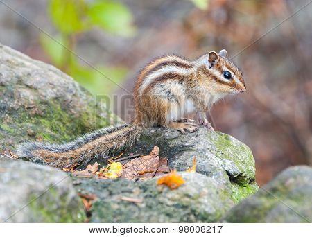 Siberian chipmunk - symbol animal of the  of Seoraksan National Park, South korea