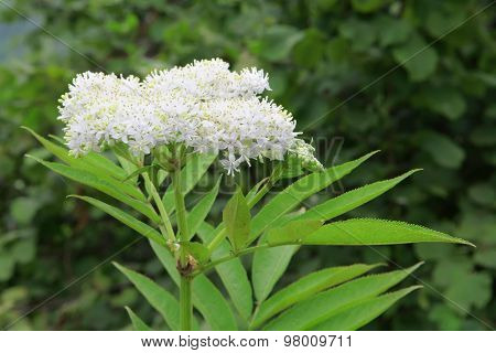 White Exotic Tropical Flower Yarrow