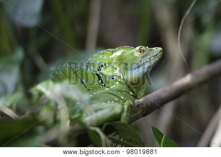 Basiliscus Plumifrons, Plumed Basilisk, Basilique A Plumes
