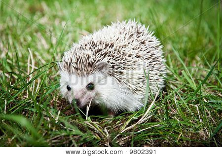 Alert Hedgehog