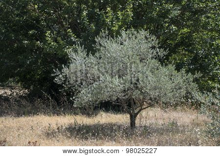 Olive Tree On A Meadow In Provence, South Of France