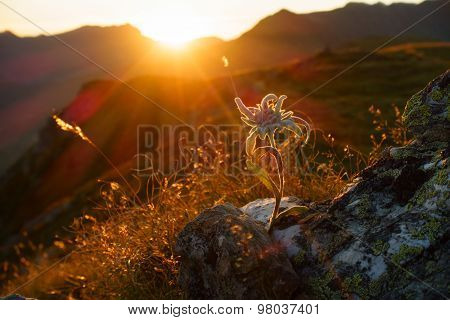 Edelweiss in the backlit of the Alps