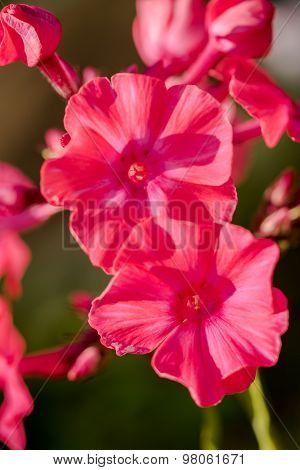 Very Bright Pink Phlox Paniculata (garden Phlox) In Bloom