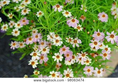 pink cosmos flowers blooming in garden , small cosmos poster
