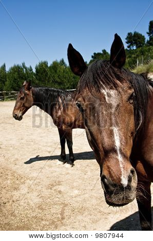 Two brown horses portrait