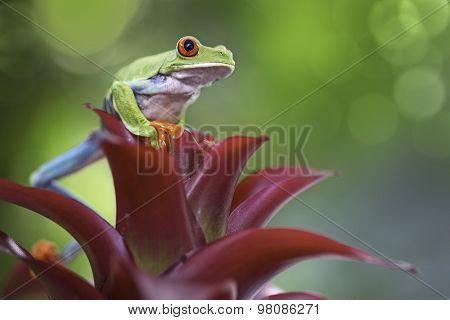 Red eyed tree frog in the Costa Rica rain forest. A beautiful macro of a wonderful rainforest animal. This treefrog has bright vivid colors and amazing eyes