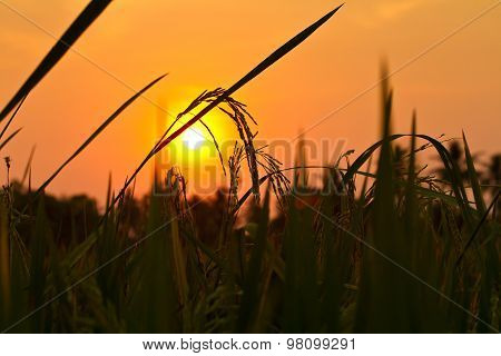 Silhouette Rice Spike In The Rice Field With Sunset