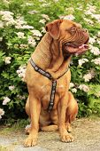Dogue de Bordeaux, French mastiff photo shoot in the wild poster