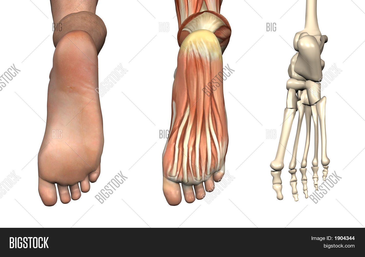 Anatomical Overlays - Image & Photo (Free Trial) | Bigstock