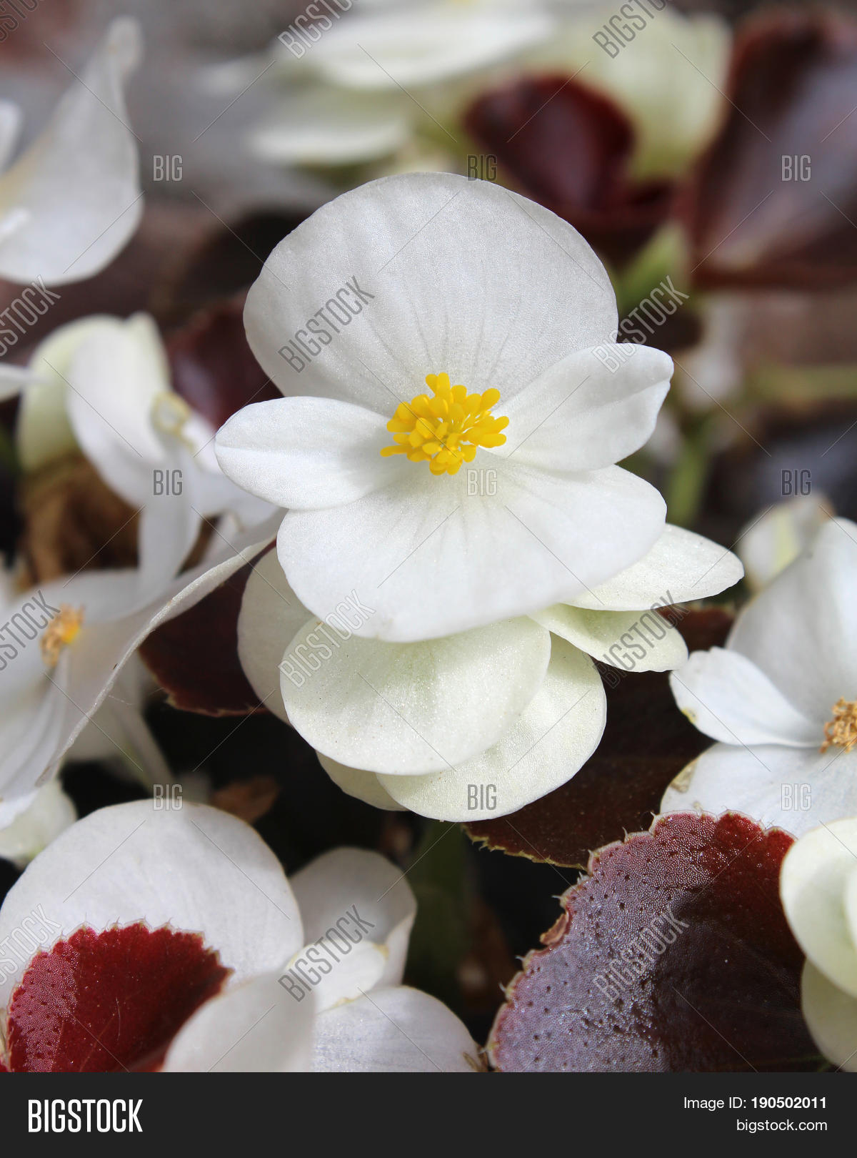 Fresh White Flowers Image Photo Free Trial Bigstock