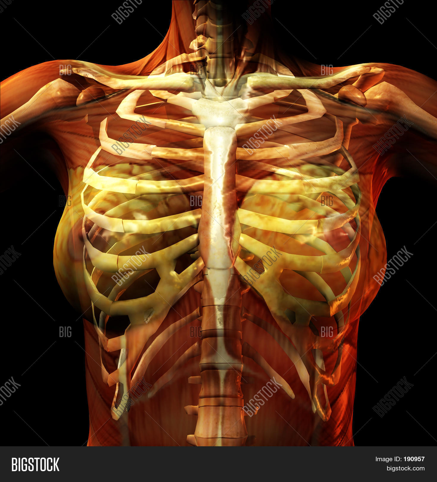 Rib Cage Image Photo Free Trial Bigstock