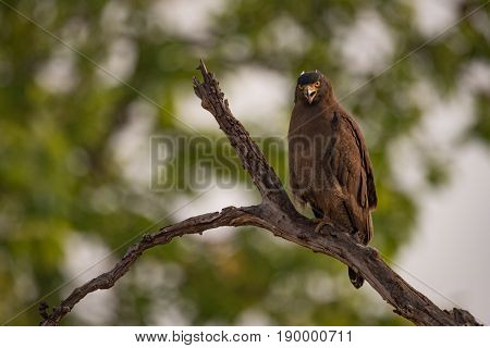 Crested Serpent Eagle Looking Down From Branch